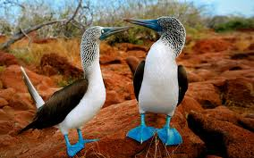 galapgos islands blue footed